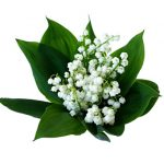 Lily-of-the-Valley-flower